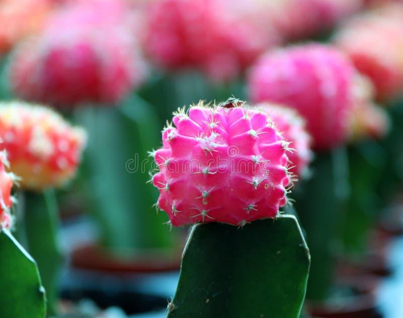 Pink Moon Cactus on the green Cactus, Gymnocalycium mihanovichii, often called chin cactus. stock photo