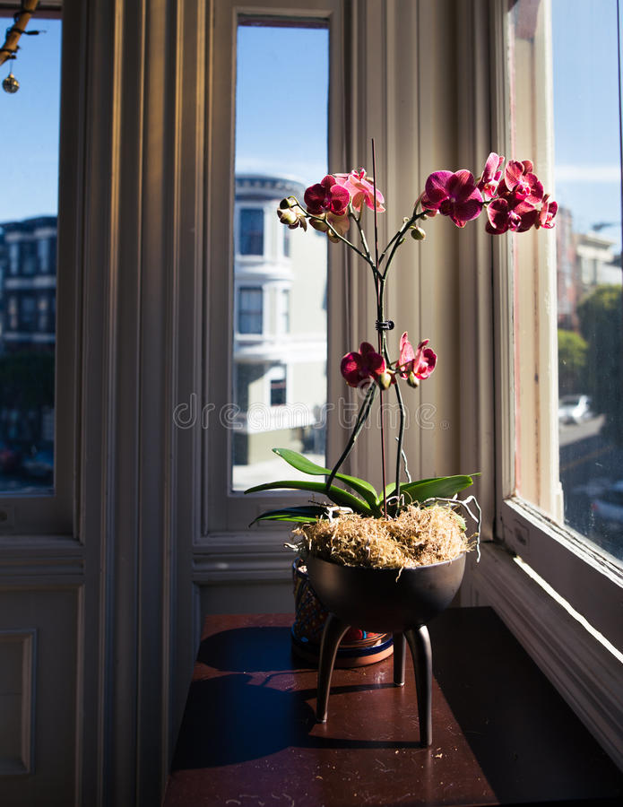 Download Pink Moth Orchid stock image. Image of indoors, orchids - 84996959