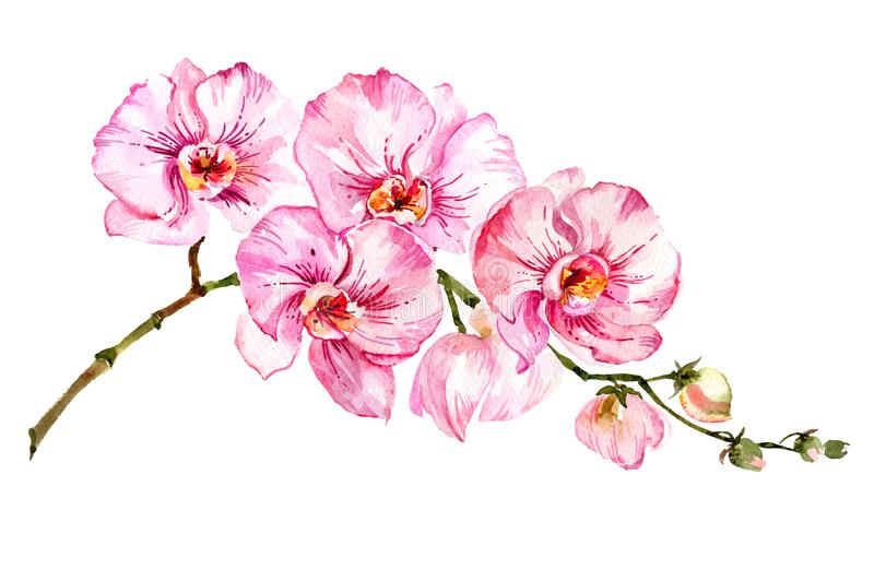 Pink moth orchid Phalaenopsis flower on a twig. Isolated on white background. Watercolor painting. Hand drawn royalty free illustration