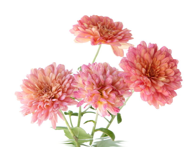 Pink Mum Royalty Free Stock Image