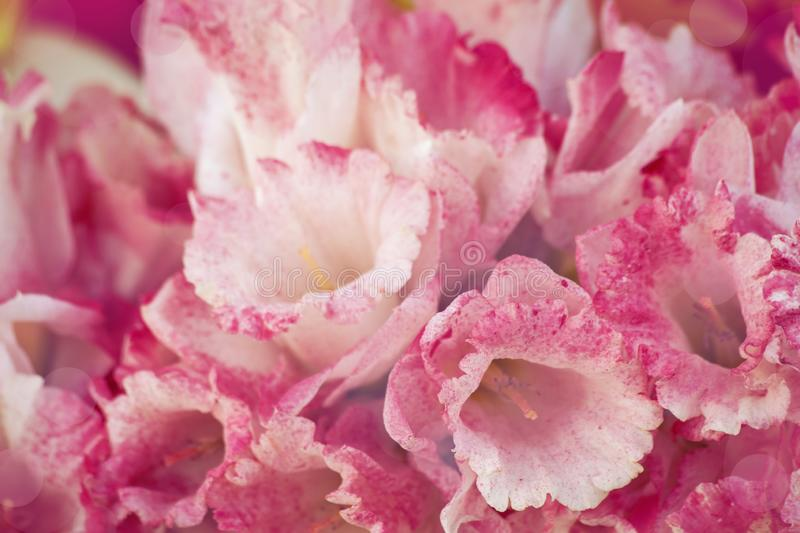 Pink narcissus royalty free stock photos