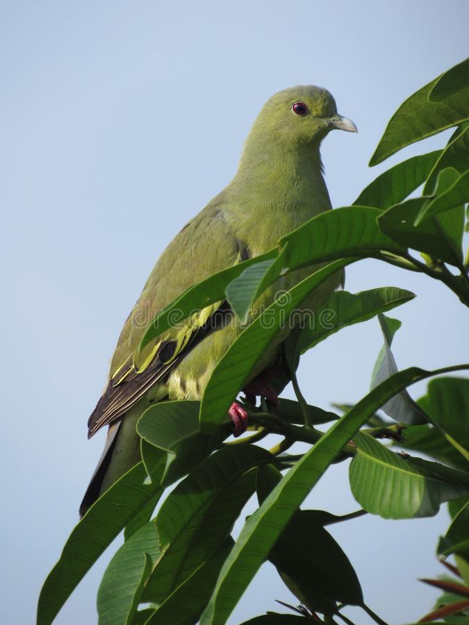 Pink-necked Green Pigeon - Female. Close-up of a red-eyed female Pink-necked Green Pigeon, Treron vernans royalty free stock photo