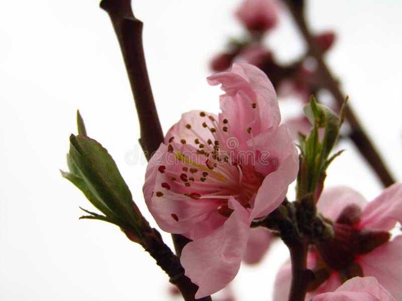 Pink nectarine blossom. White background. Macro royalty free stock images