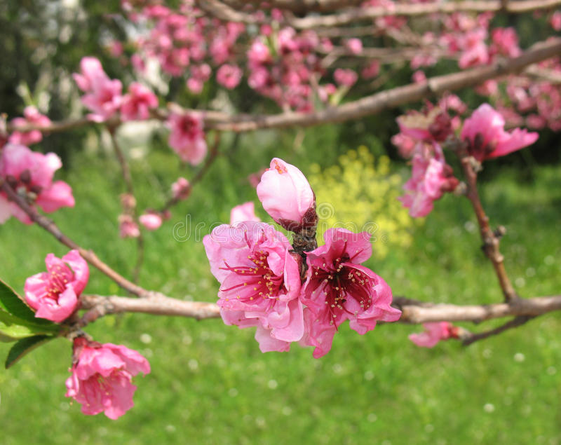 Pink Nectarine Flowers and Bud stock photography