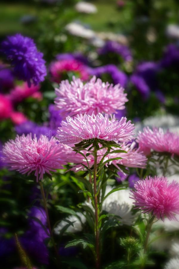 Pink needle Callistephus flower blossom. Postcard vertical background, beautiful fresh daisy aster flower royalty free stock photos