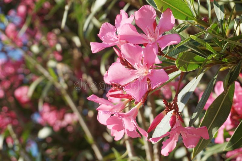 Pink Nerium Oleander blooming branches with flowers, close up view. Mediterranean summer flower background stock images
