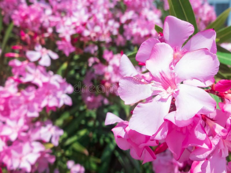 Pink nerium oleander flowers against other flowers at the background.  royalty free stock photo