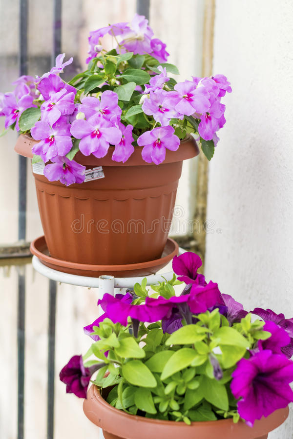 Pink New Guinea Hybrid Impatiens flowers and petunia flowers. Guinea Hybrid Impatiens flowers and petunia in pots stock photo