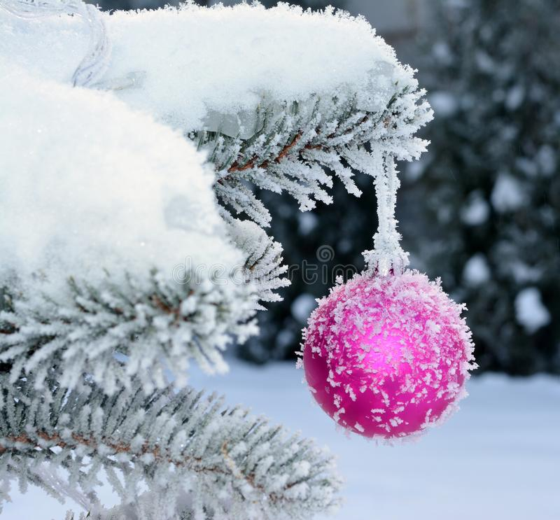 Pink New Year ball on live fir-tree with frost and snow. royalty free stock photography