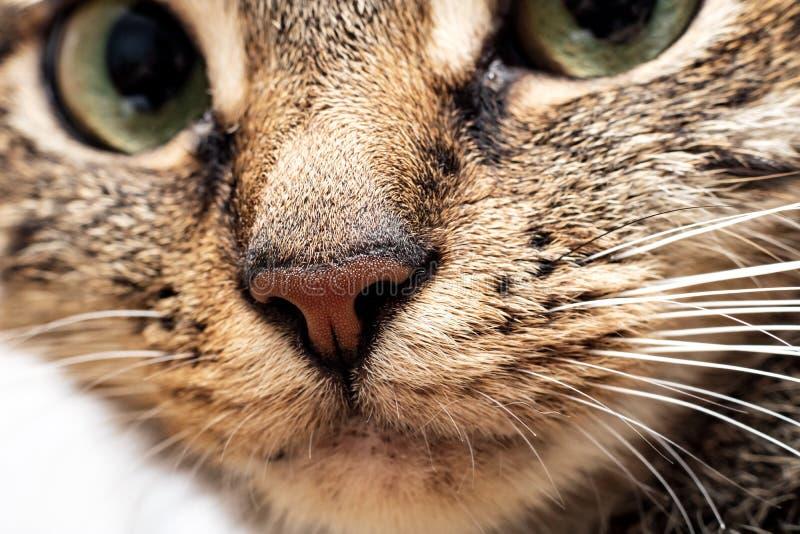 Pink nose of a gray cat close up stock photos