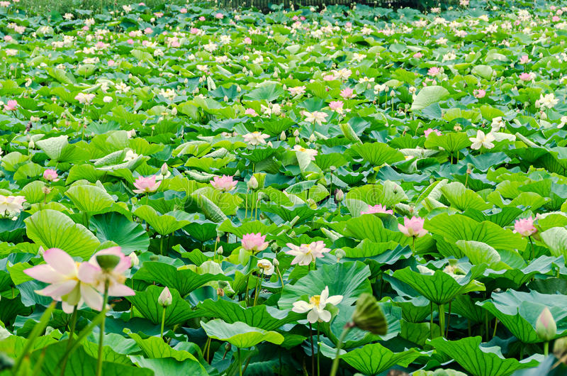 Pink nuphar flowers, green field on lake, water-lily, pond-lily, spatterdock, Nelumbo nucifera, also known as Indian lotus. Sacred lotus, bean of India, lotus stock photo