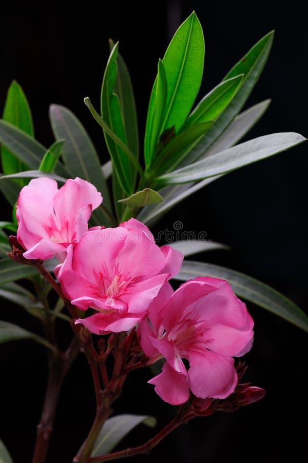 Pink Oleander Flower Stock Photo