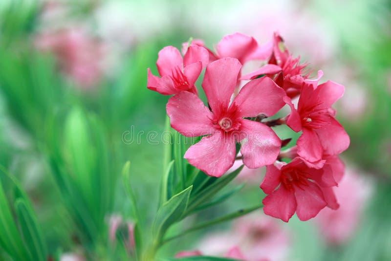 Download Pink Oleander Flower stock image. Image of bloom, leaves - 20382675