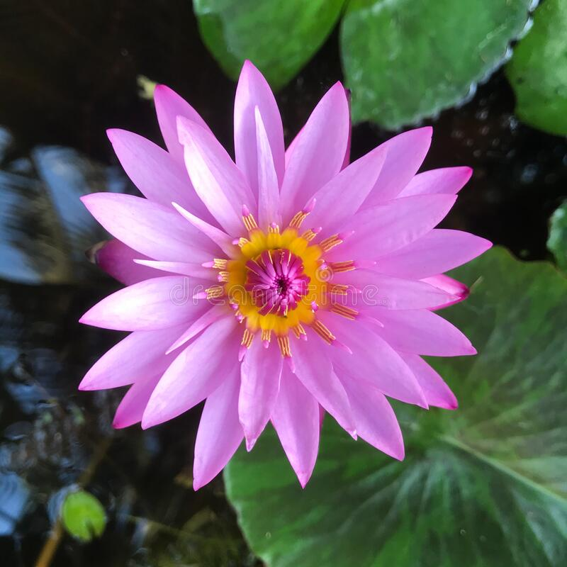 Pink one lotus flowers on water stock photos