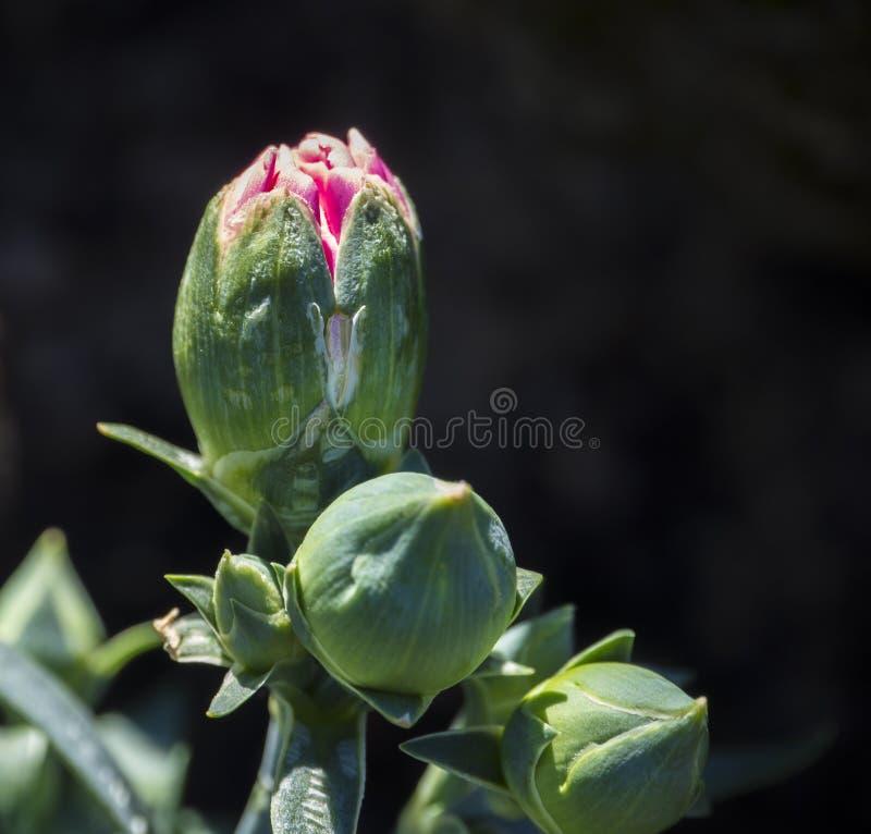Pink opening bud of blooming Dianthus caryophyllus, carnation or clove pink, Close up macro, Selective focus, bokeh dark stock photo