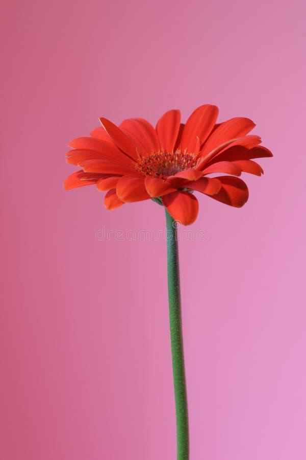 Download Pink and orange stock image. Image of spring, gift, garden - 111103
