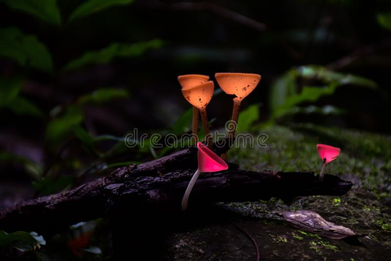Champagne mushrooms in the forest. royalty free stock image