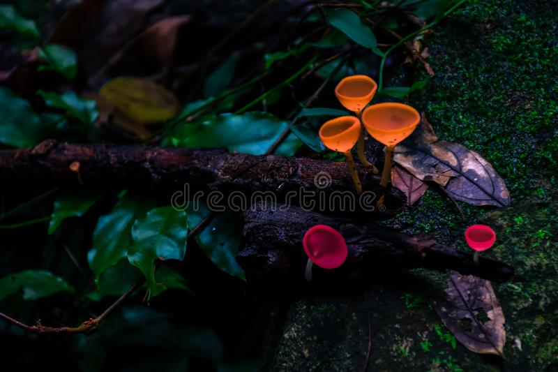 Champagne mushrooms in the forest. royalty free stock photos
