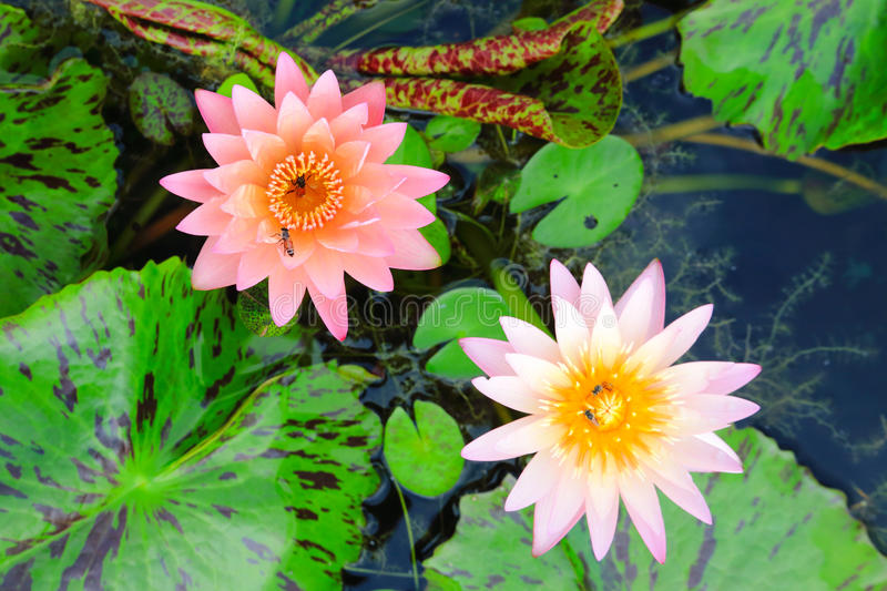 Pink and orange water lilies. Water lily or Nymphaea is a genus of hardy and tender aquatic plants in the family Nymphaeaceae. The genus has a cosmopolitan stock image