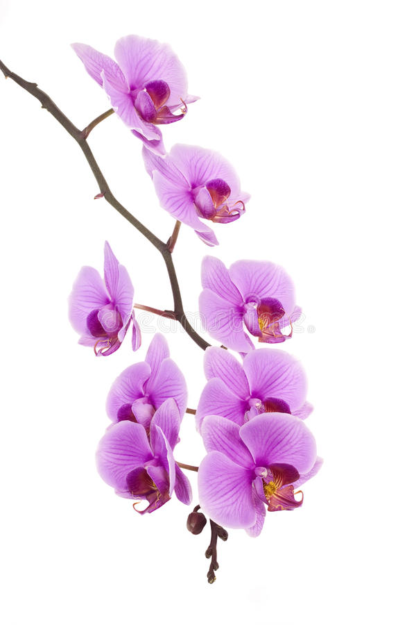 Free Pink Orchid Royalty Free Stock Photos - 13648098