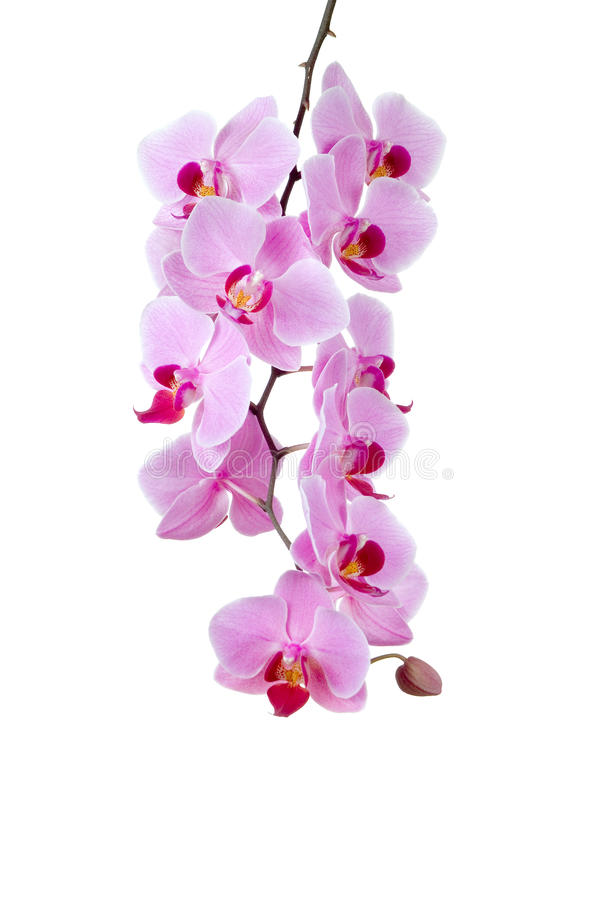 Free Pink Orchid Royalty Free Stock Photos - 14417028