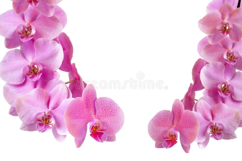 Download Pink orchid stock photo. Image of botany, blossom, drop - 17430014