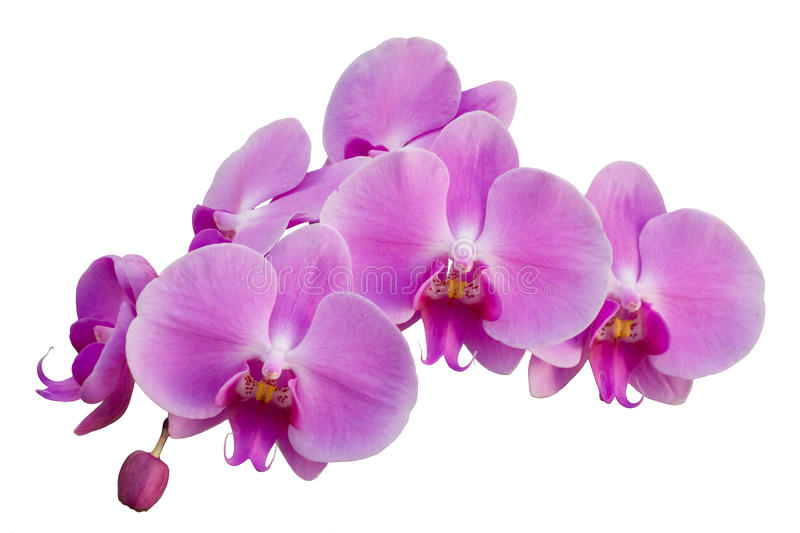 Pink orchid. Isolated on the white background