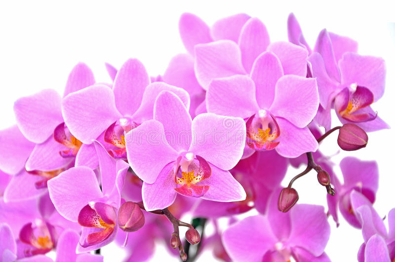 Download Pink orchid stock photo. Image of tropical, phalaenopsis - 25788510