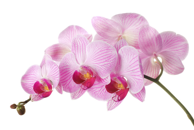 Pink orchid. Phalaenopsis on white background. Isolated stock photos