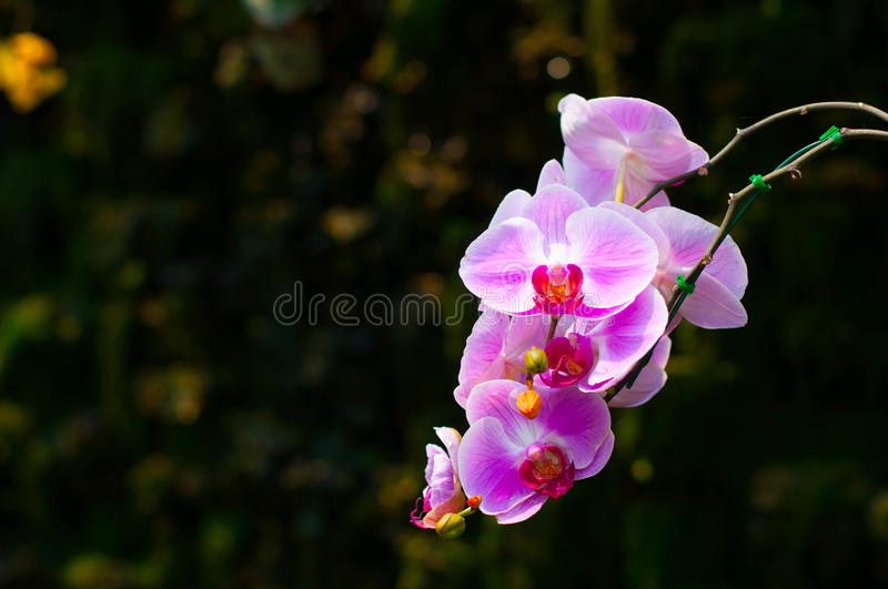 Pink Orchid. On background black royalty free stock photos