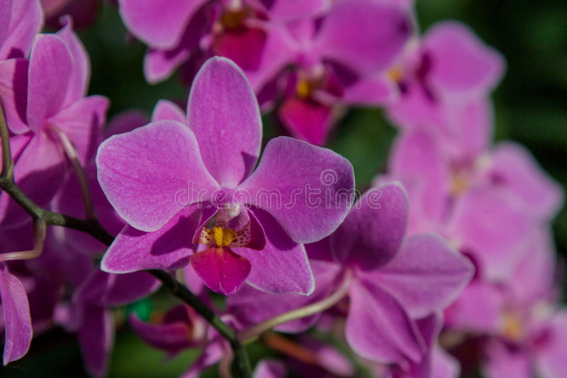 Pink Orchid. Beautiful tropical flower. stock images