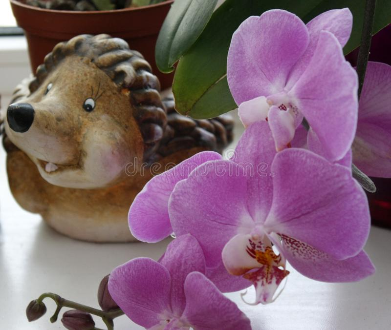 Pink orchid with a blurred background, Beautiful pink orchid in a pot on the windowsill royalty free stock photography