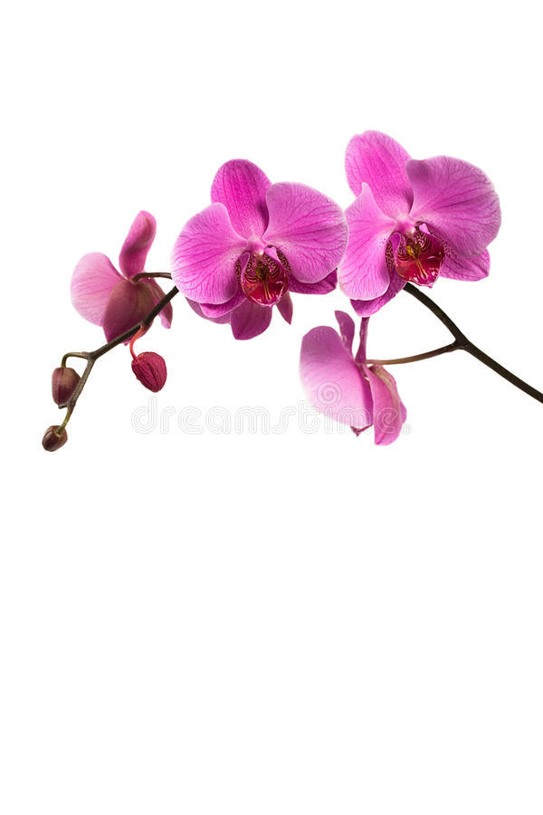 Pink orchid branch isolated on white royalty free stock photos