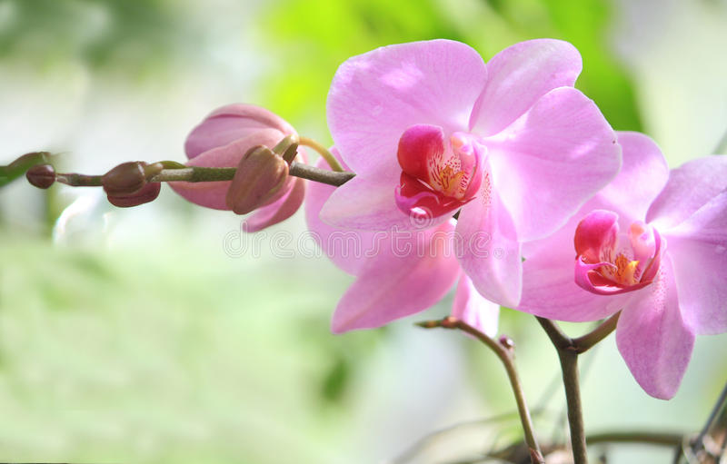 Pink Orchid. Colorful Pink Orchid closeup view in Garden stock image