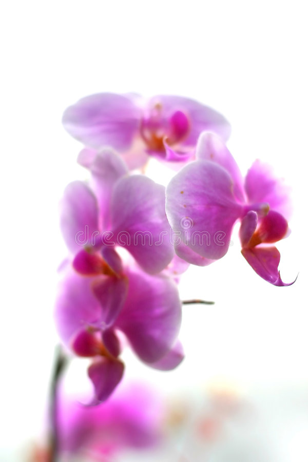 Pink Orchid Flower. A pink orchid flower against white background stock photography