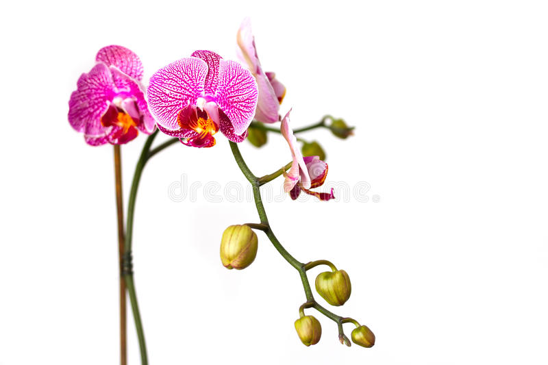 Download Pink Orchid Flower Isolated On White Stock Photo - Image: 25446142