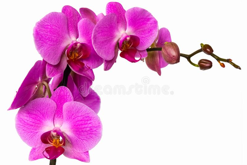 Pink orchid flower on white background isolate royalty free stock photos