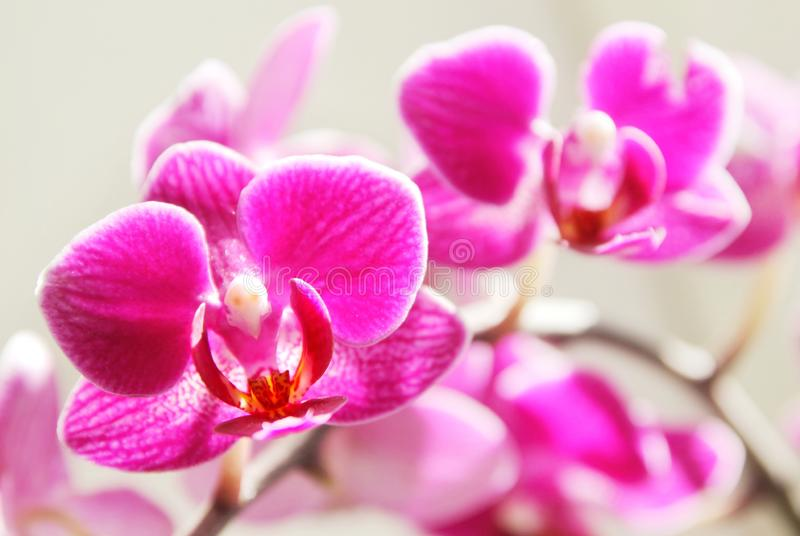 Pink orchid flowers, fuchsia, royalty free stock photography