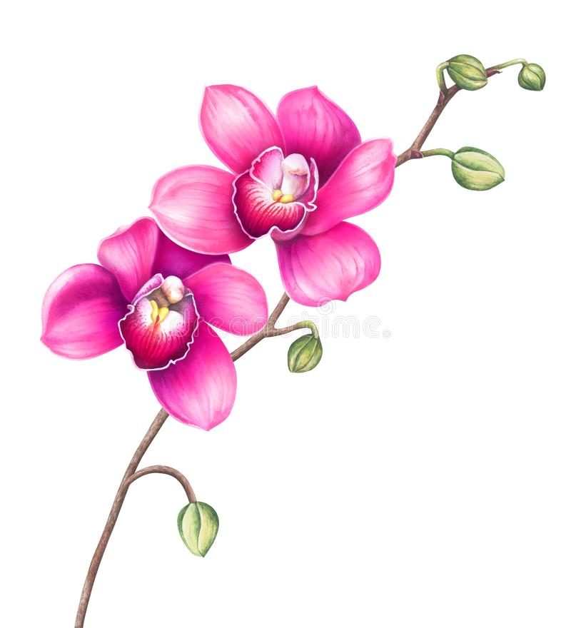 Pink orchid flowers isolated on white background. Watercolor illustration. stock illustration