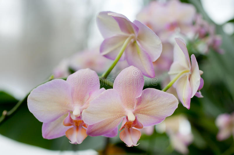 Download Pink Orchid Flowers stock image. Image of climate, closeup - 38754551