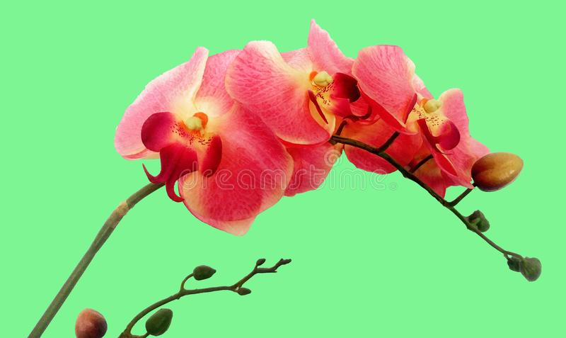 Pink orchid on green background stock photo