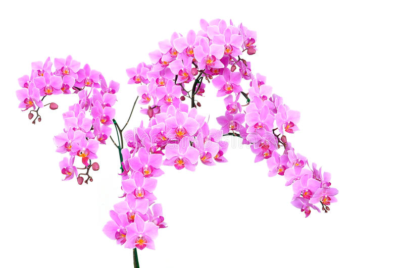 Download Pink orchid isolated stock image. Image of backgrounds - 26024995