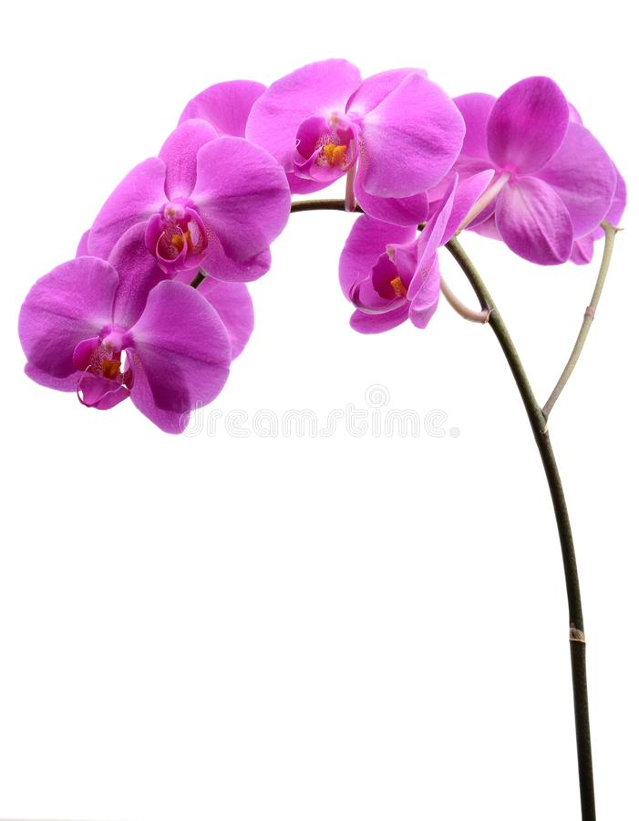 Pink orchid with long stalk isolated on white stock images