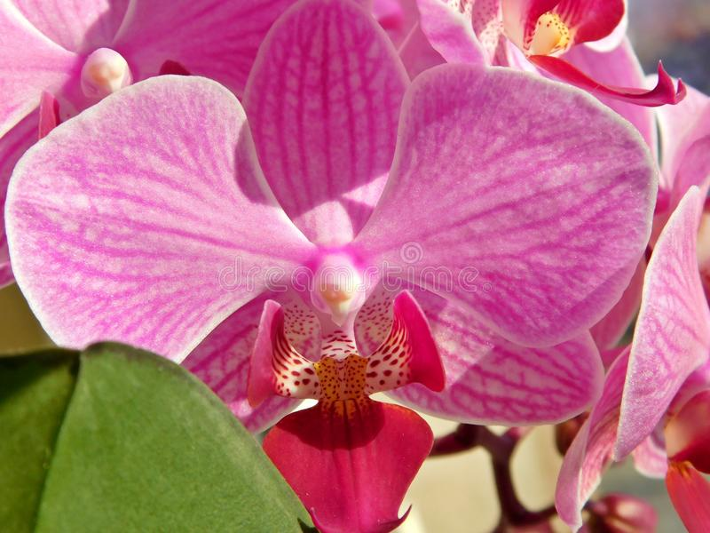 Pink orchid royalty free stock image