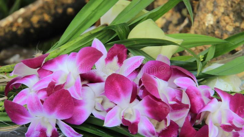 Pink Orchid With Pandan Leaves. Bun And Budding Colorful White And Purple pink Orchids With Green Pandan leaves For Buddha Worship In Bangkok Thailand royalty free stock photo