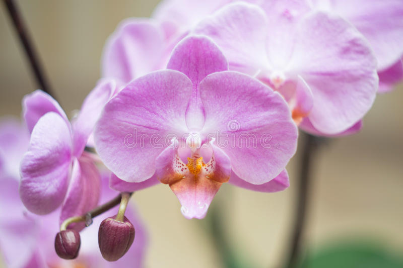 Pink orchid pot stock photography