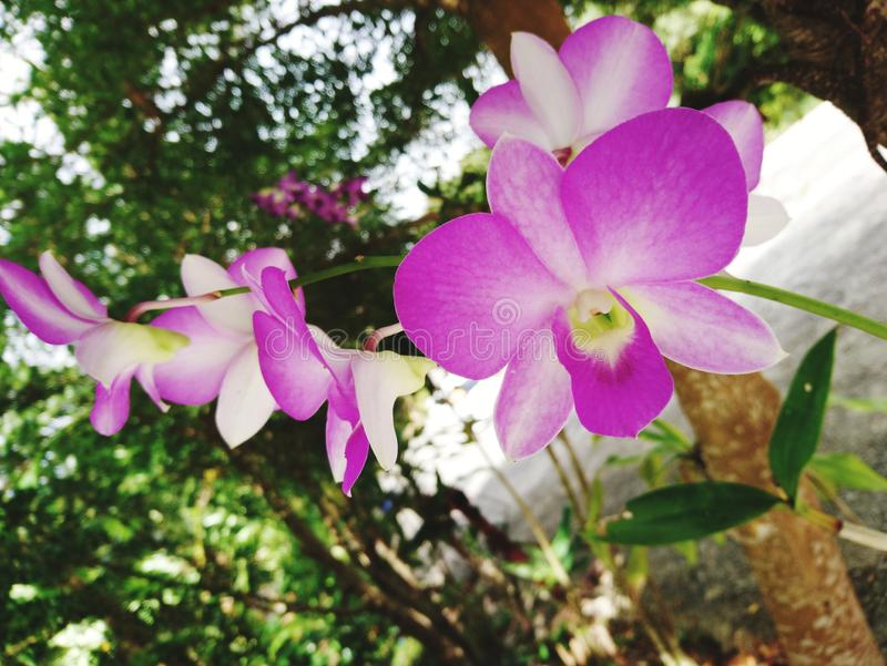 Pink orchid Under the big green tree royalty free stock image