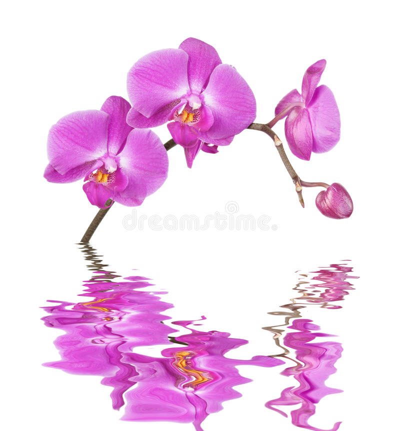 White Orchid Water Pink: Pink Orchid On A White Background Reflected In A Water
