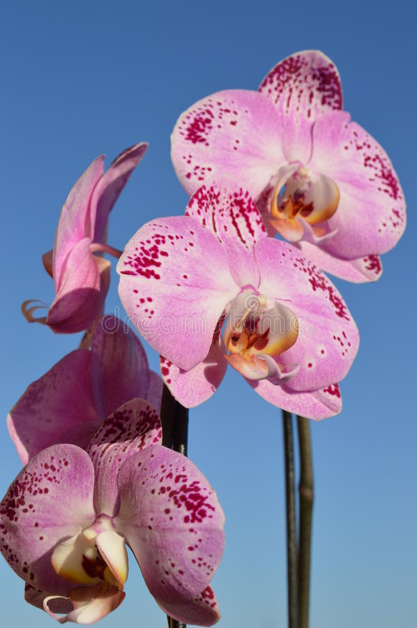 Pink orchidea stock photography