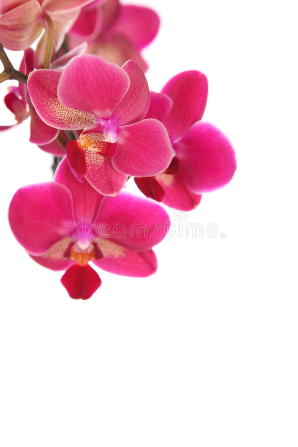 Pink orchiden fotografering för bildbyråer